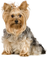 Photo Gallery - The Yorkshire Terrier